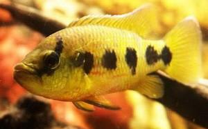 hemichromis-fasciatus