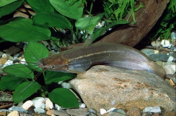 Рыбка мешкожаберный сом