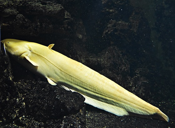 Мешкожаберный сом альбинос