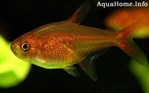 hyphessobrycon-amandae