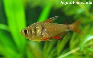 hyphessobrycon-bifasciatus