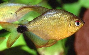 hyphessobrycon-heliacus