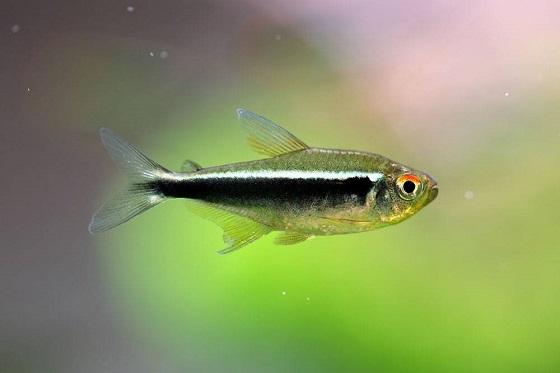 Неон черный - Hyphessobrycon herbertaxelrodi