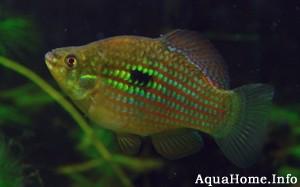 jordanella-floridae