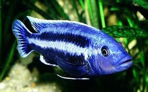 melanochromis-chipokae
