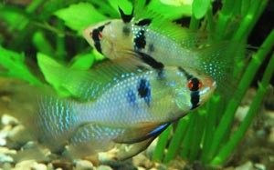 microgeophagus-ramirezi