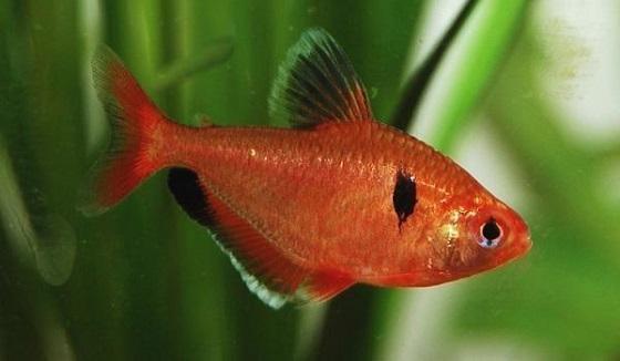 Hyphessobrycon minor