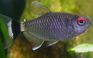 moenkhausia-sanctaefilomenae