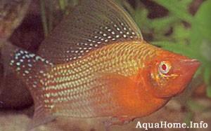 mollinesia-velifera