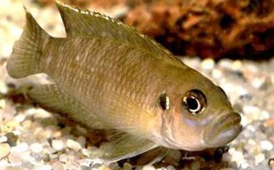 neolamprologus-brevis