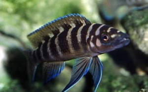 neolamprologus-cylindricus