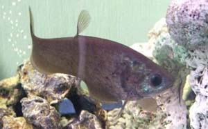 notopterus-kapirat