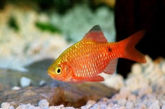 Рыбка Barbus conchonius