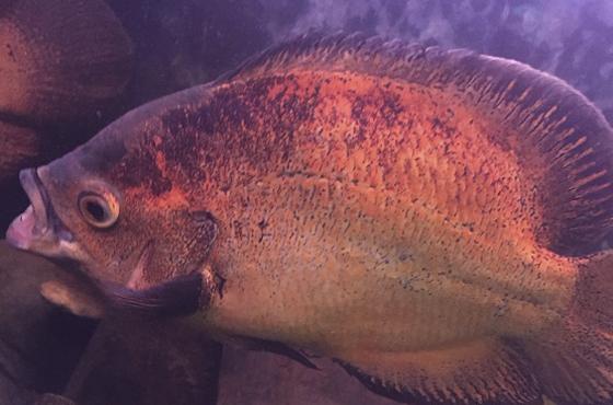 Рыба Астронотус