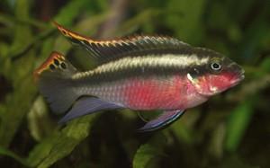pelvicachromis-pulcher