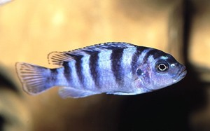 pseudotropheus-lombardoi