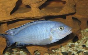 pseudotropheus-socolofi