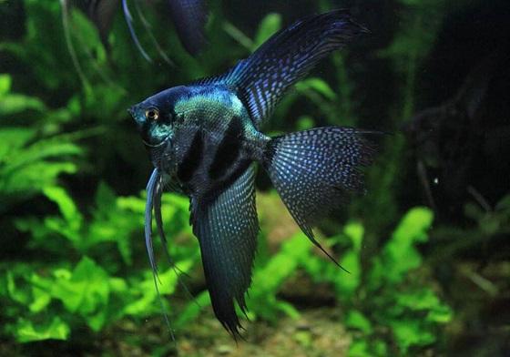 Скалярия в аквариуме