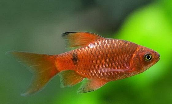 Рыбка Барбус огненный