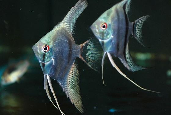 Рыбки Скалярии - Pterophyllum scalare