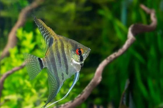 Рыбка Pterophyllum scalare в аквариуме