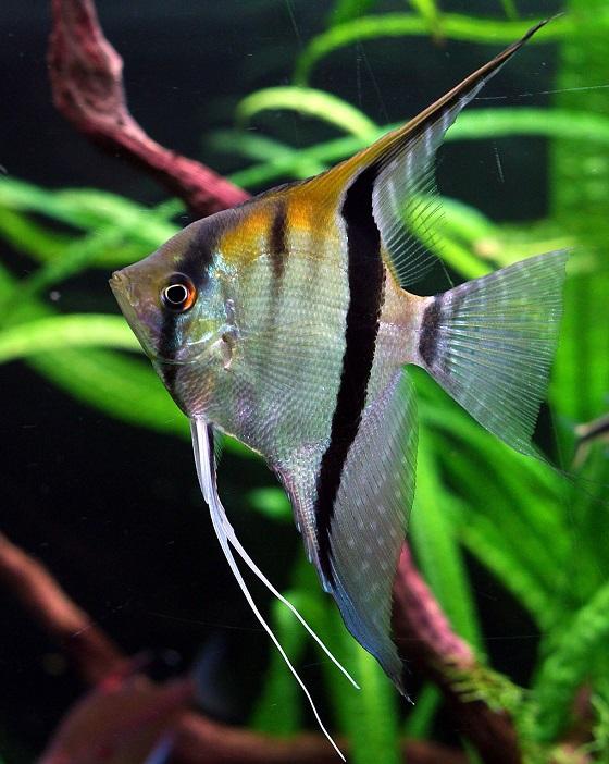 Рыбка Pterophyllum scalare