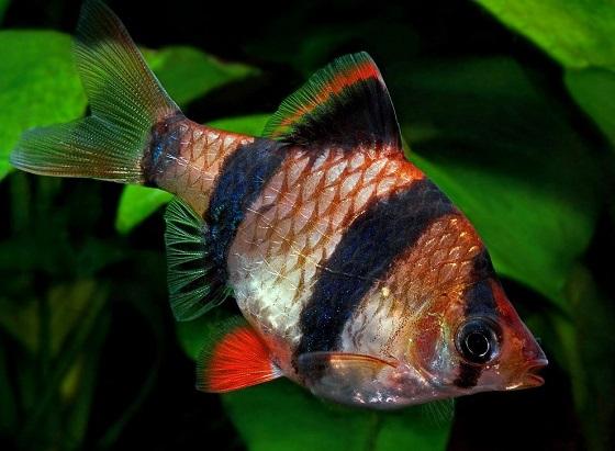 Рыбка суматранский барбус