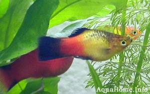 xiphophorus-maculatus