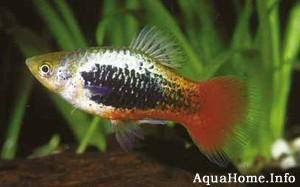 xiphophorus-variatus
