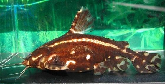 Акантодорас звездчатый - Acanthodoras spinosissimus