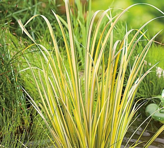 Растение Акорус
