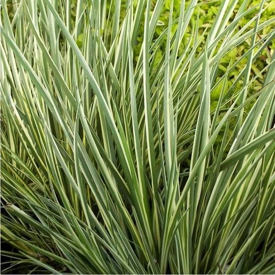 Аир травянистый - Acorus gramineus