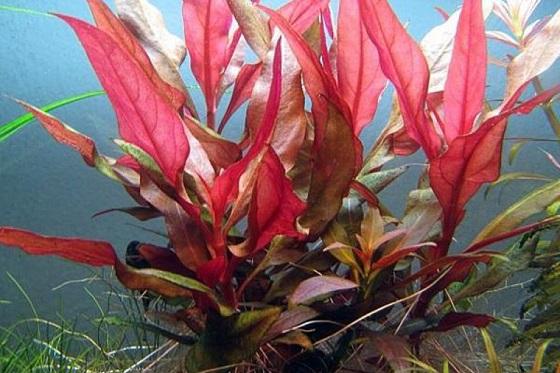 Растение Альтернантера Рейнека