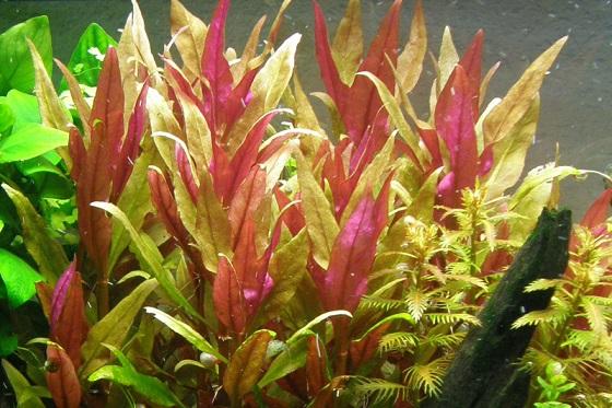 Растение Alternanthera reineckii