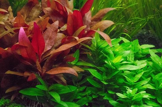 Аквариуное растение Alternanthera reineckii