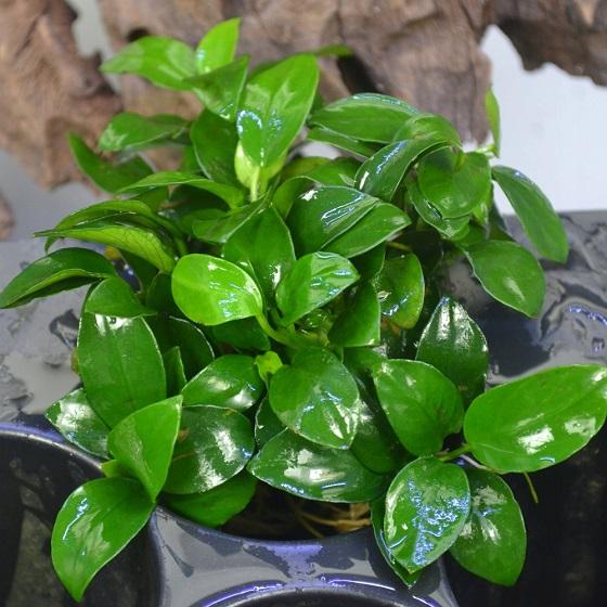 Растение Anubias nana