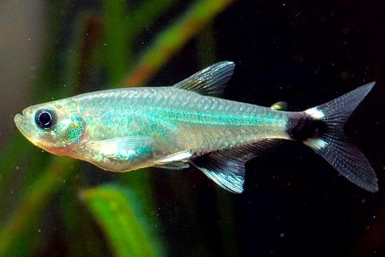 Рыбка Афиохаракс парагвайский