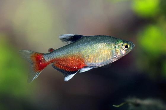 Рыбка Афиохаракс ратбуни