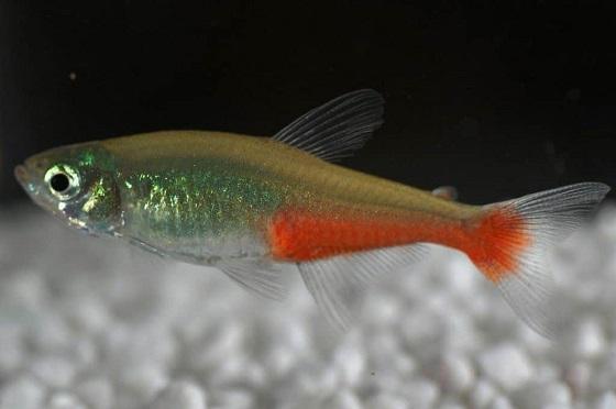 Aphyocharax rathbuni в аквариуме
