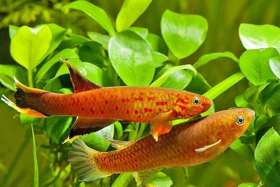 Рыбка Афиосемион южный