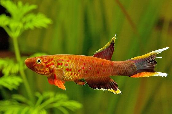 Рыбка Aphyosemion australe