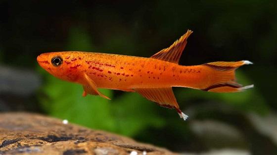 Рыбка Афиосемион южный - Aphyosemion australe