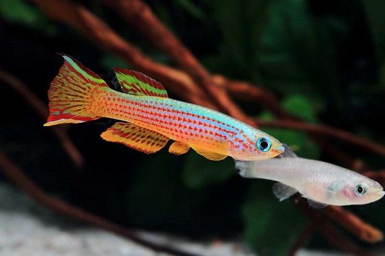 Рыбка Aphyosemion striatum