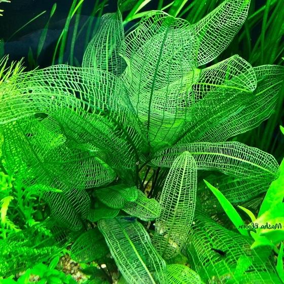 Растение Апоногетон мадагаскарский