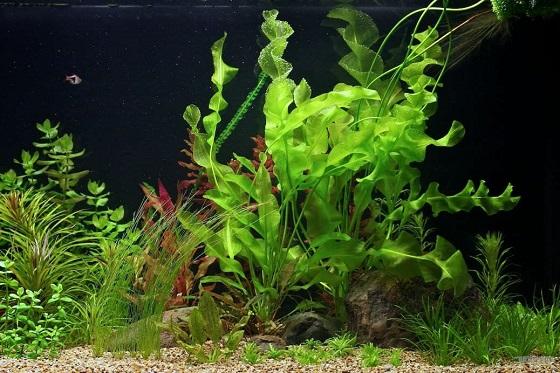 Апоногетон ульвовидный в аквариуме