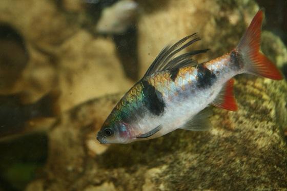 Барбус арулиус - Barbus arulius