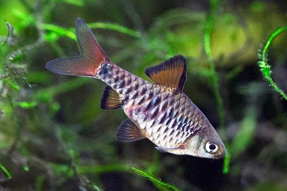 Barbus oligolepis в аквариуме