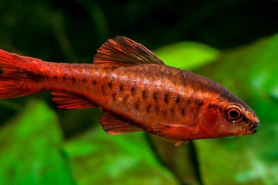 Рыбка Puntius titteya