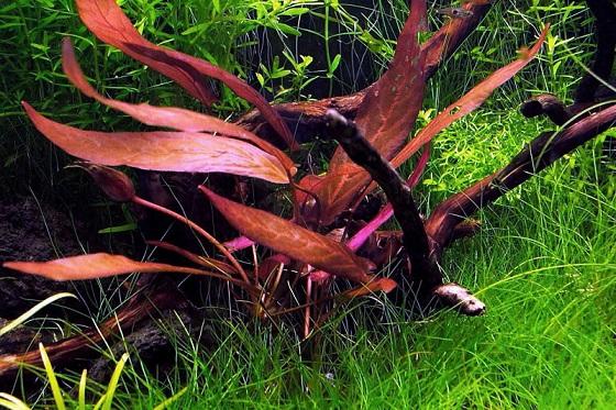 Барклайя длиннолистная - Barclaya longifolia