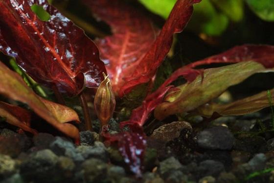 Растение Барклайя длиннолистная